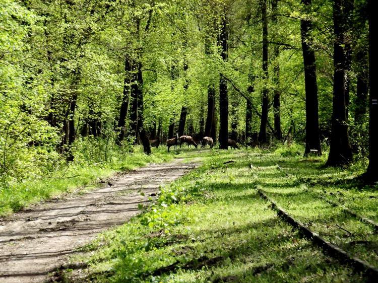 Vonuló szarvasok a kisvasút sínjei mellett