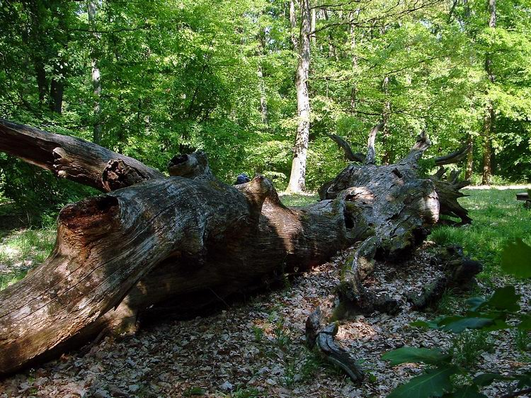 One of the old, fallen Banya Trees