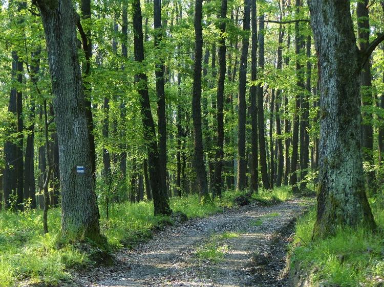 Well trodden dirt road in the oak forest