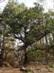 A Szent Péter-fa dél felől nézve
