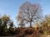 Egy óriási hársfa áll őrt a Csobánkai-nyeregbe vezető út szélén