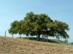 Romhány - A település határában áll a Rákóczi törökmogyórófa