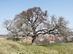 Romhány - A Rákóczi törökmogyorófa kora tavasszal