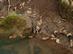 Foltos szalamandra a patak vizében