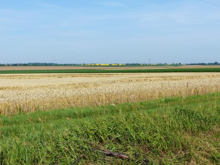 Jellegzetes mezőföldi tájkép aratásra váró búzafölddel, távolabbi kukoricatáblával és távoli sárga napraforgómezővel