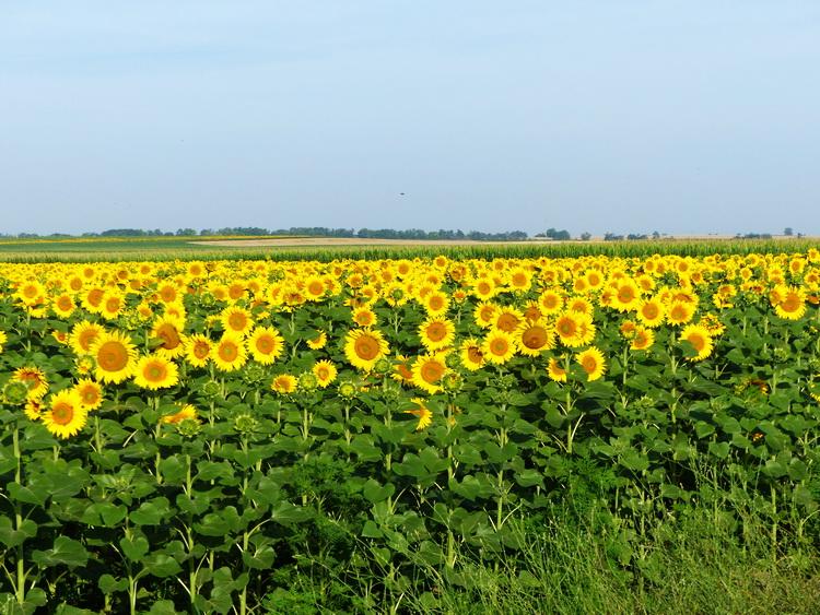 Mezőföld - A napraforgó, kukorica és gabonatáblák a látóhatárig nyúlnak