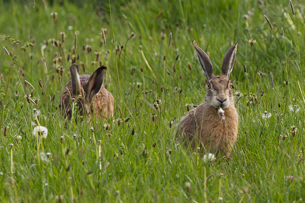 European hares in the high grass