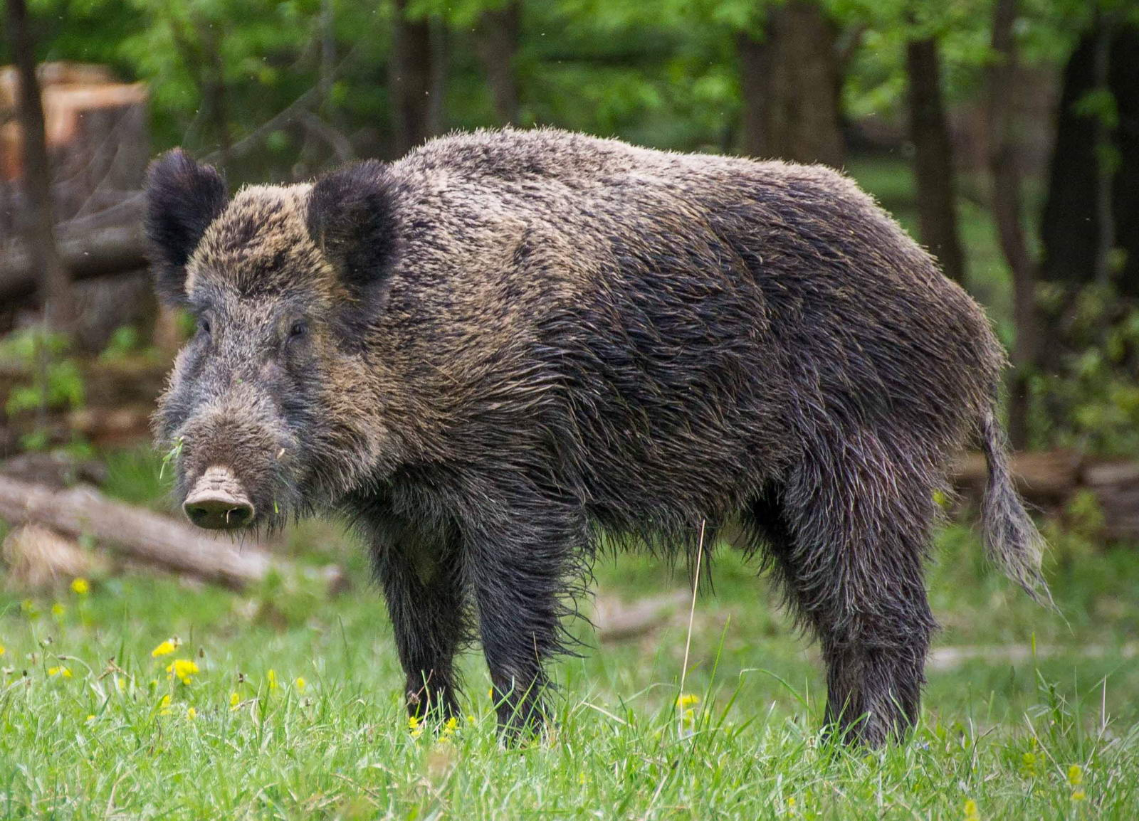 Boar on a clearing